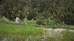 Farmer ploughing the rice terrace field near Ubud Bali Footage
