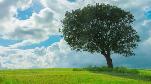 Time-lapse of green tree growing alone in field, clouds flying in blue sky Footage