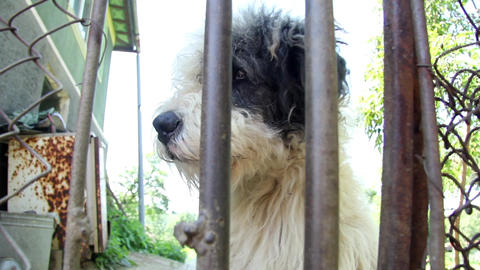 White dog sitting by a wooden gate and barks while giving queue 67 Footage