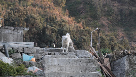 Yard dog in the Himalayas Live Action