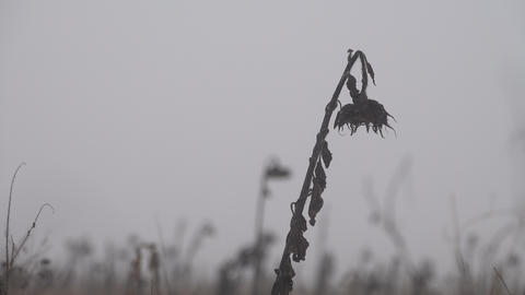 Lone sunflower on a dry winter field Live Action