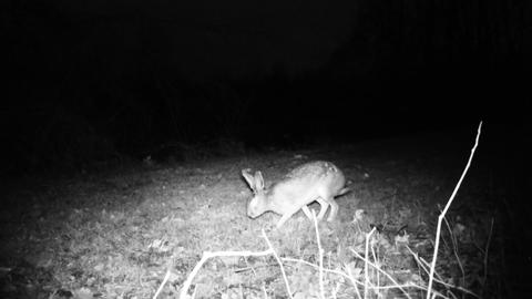 Hare (Lepus Europaeus) eats the grass of a meadow in a cold winter night Live Action