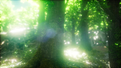 Forest of Beech Trees illuminated by Sunbeams Live Action