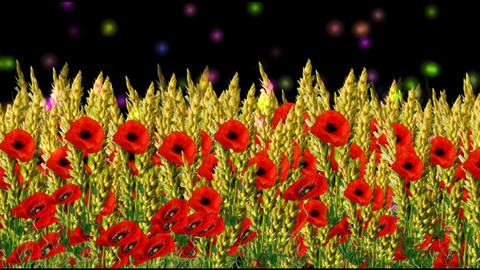 4k WHEAT FIELD AND POPPY FLOWERS Animation