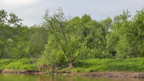 The tree on the bank of the river Serga. Russia Footage