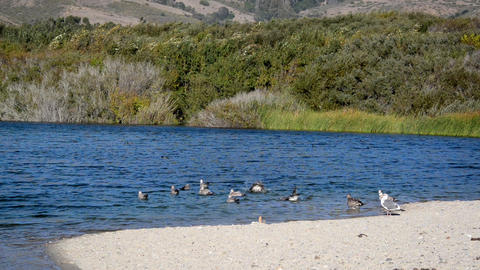 Seagulls in Andrew Molera State Park Footage