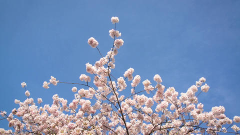 Cherry Blossoms and Blue Sky, Live Action