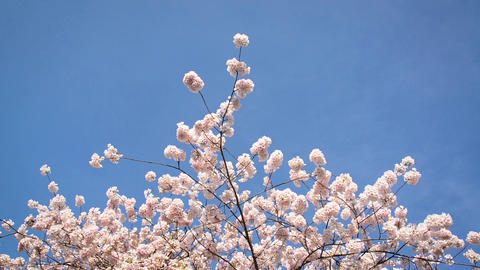 Cherry Blossoms and Blue Sky Footage