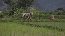 Traditional farmer cutting harvest by hand in fields of Sapa Mai Chau Vietnam Footage