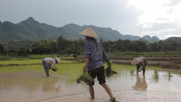 Vietnamese farmers planting rice by hands in paddy terrace field near Sapa Mai C Footage