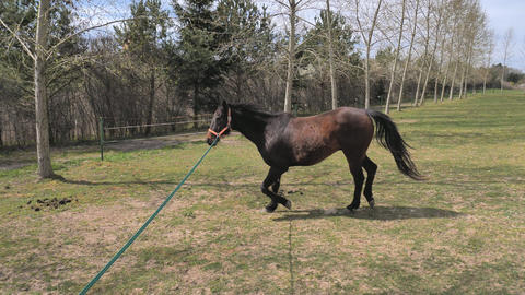 Trainer trains a half-blind horse without an eye. Developing communication with the horse using Live Action