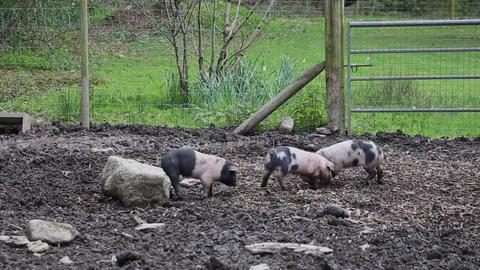 Playful Saddleback Piglets in a muddy pig pen Live Action