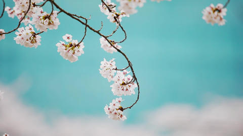 Spring scenery of Korea with cherry blossoms Live Action