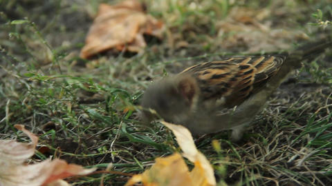 Close-up shot of cute sparrow jumping in city park. Birdwatching activity, hobby Live Action