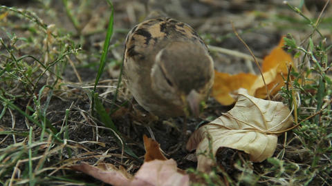 Closeup shot of small house sparrow eating seeds, insects in park on summer day Footage