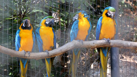 Four Blue and Yellow Macaw Perched on a Tree Branch Footage