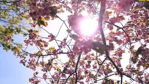 Double cherry tree ライブ動画