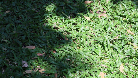 Tree shadow swaying on tropical carpet grass Live Action
