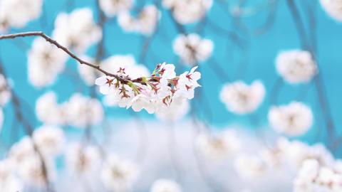 4K White cherry blossoms, flower bokeh Live Action