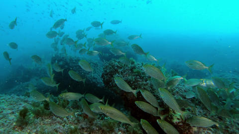 Scuba diving in dark cloudy water - Salema fish shoal Live Action