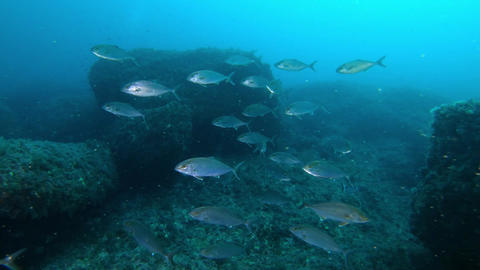 Deep scuba diving - Jack fishes school in dark blue water Live Action