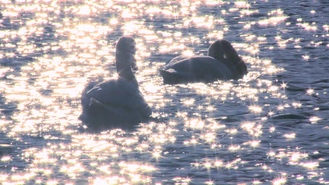 Two white swans float on sparkling water in a lake Footage