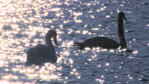 Two white swans float on sparkling water in a lake Stock Video Footage