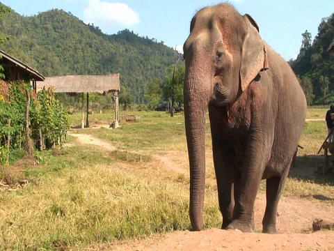 A large elephant approaches Stock Video Footage