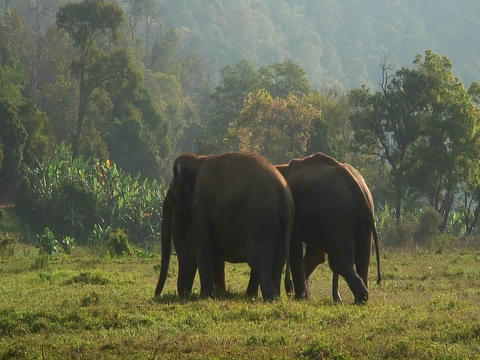 One of three elephants mounts another in a field Footage