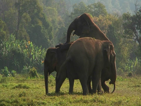 One of three elephants mounts another in a field Stock Video Footage