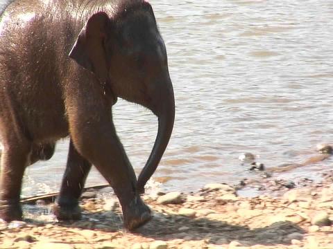 Baby elephant runs near the shore line Stock Video Footage