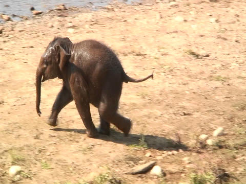 Baby elephant runs near the shore line Footage