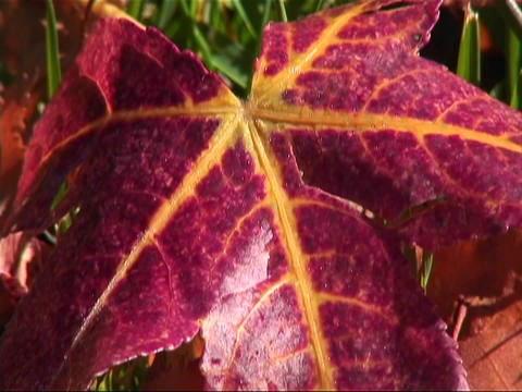 A red leaf with gold veins flutters slightly in the breeze Footage