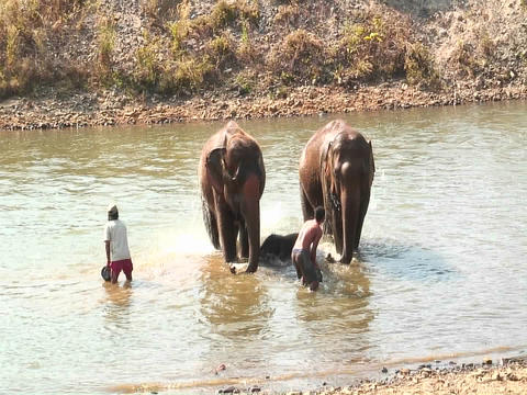 Two men with buckets throw water on a couple of elephants in a river Footage