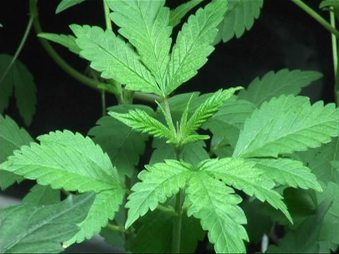 A marijuana plant early on in its vegetative cycle Footage