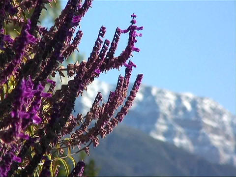 Close up of small purple mountain flowers Stock Video Footage