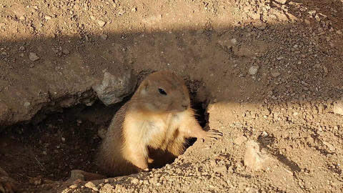 Prairie Dog Adult Alert at Burrow Entrance Footage