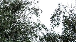 Olive branches in the wind that foretells a storm of summer seaside 26a Footage