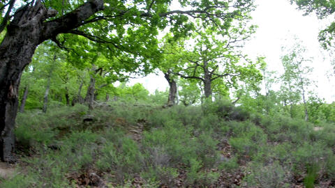 Panorama in an old beech forest with rare trees and ground vegetation 39 Live Action
