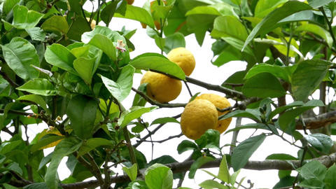 Lemon yellow fruits and flowers in the crown of a tree in the wind 30 Live Action