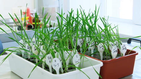 Young wheat plants prepare to infect Live Action