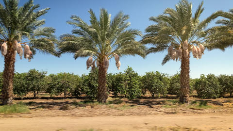 Driving past a row of Date Palm trees Live Action