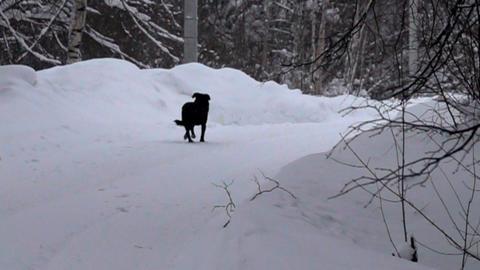 Black dog running on white snow background Live Action