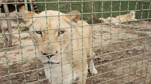Sad white lioness behind a zoo cage. Feline predator in captivity. Close up Live Action