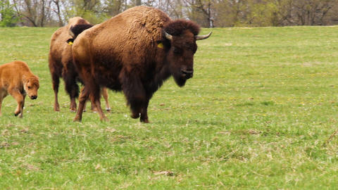 Small cute bison calf running on meadow pasture. Playing cow on grass Live Action