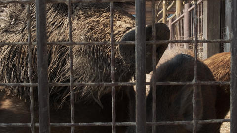 Wild boar with piglets behind the fence at the zoo close up. Animals in Live Action