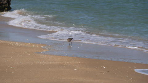 Bird with a long beak walks along the coastline and collects crustaceans. Numenius is a bright Live Action