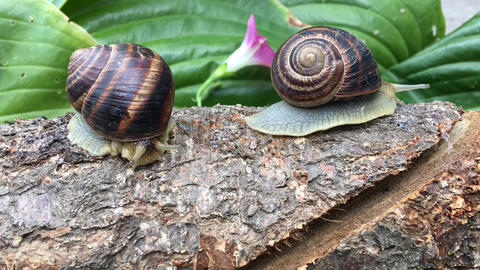 Two snails on a tree trunk Archivo