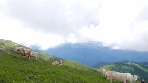 Cows graze in the mountains. Ridge Aibga. Sochi, Russia Footage