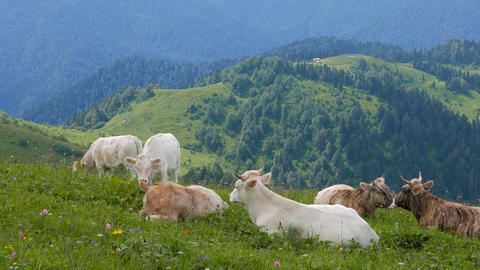 A herd of cows in the mountains. Ridge Aibga. Sochi, Russia Footage